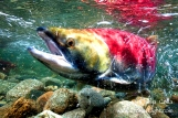Salmon returns to the very place of their birth to spawn and pass on to the Spirit World.