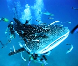 The Whale Shark is the largest fish in Grandmother Ocean...