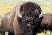 May the Sacred Buffaloes always roam the plains Wild and Free.