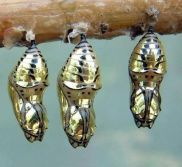 Chrysalis remind us that transformation is beautiful.