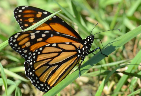 Loss of milkweed is linked to plummeting number of declining Monarch Butterflies...