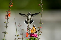 Hummingbirds and Butterflies enjoy many of the same flowers.