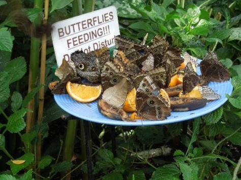 When your new to feeding be sure to give it time for the Butterflies to find your offerings.