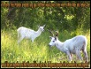 White Deers are sacred messengers, bringing with them good medicine.